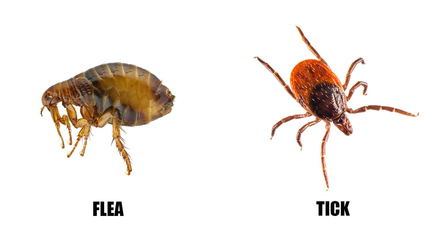 flea_vs_tick.jpg