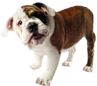bulldogpup1.png
