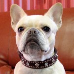 Frenchy-in-a-Paco-collar-150x150.jpg