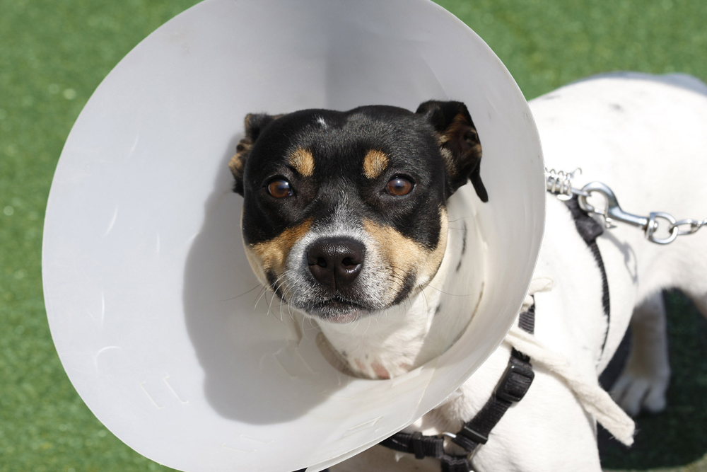 Dog with a cone on its head after surgery.