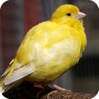 canary_veterinary.png