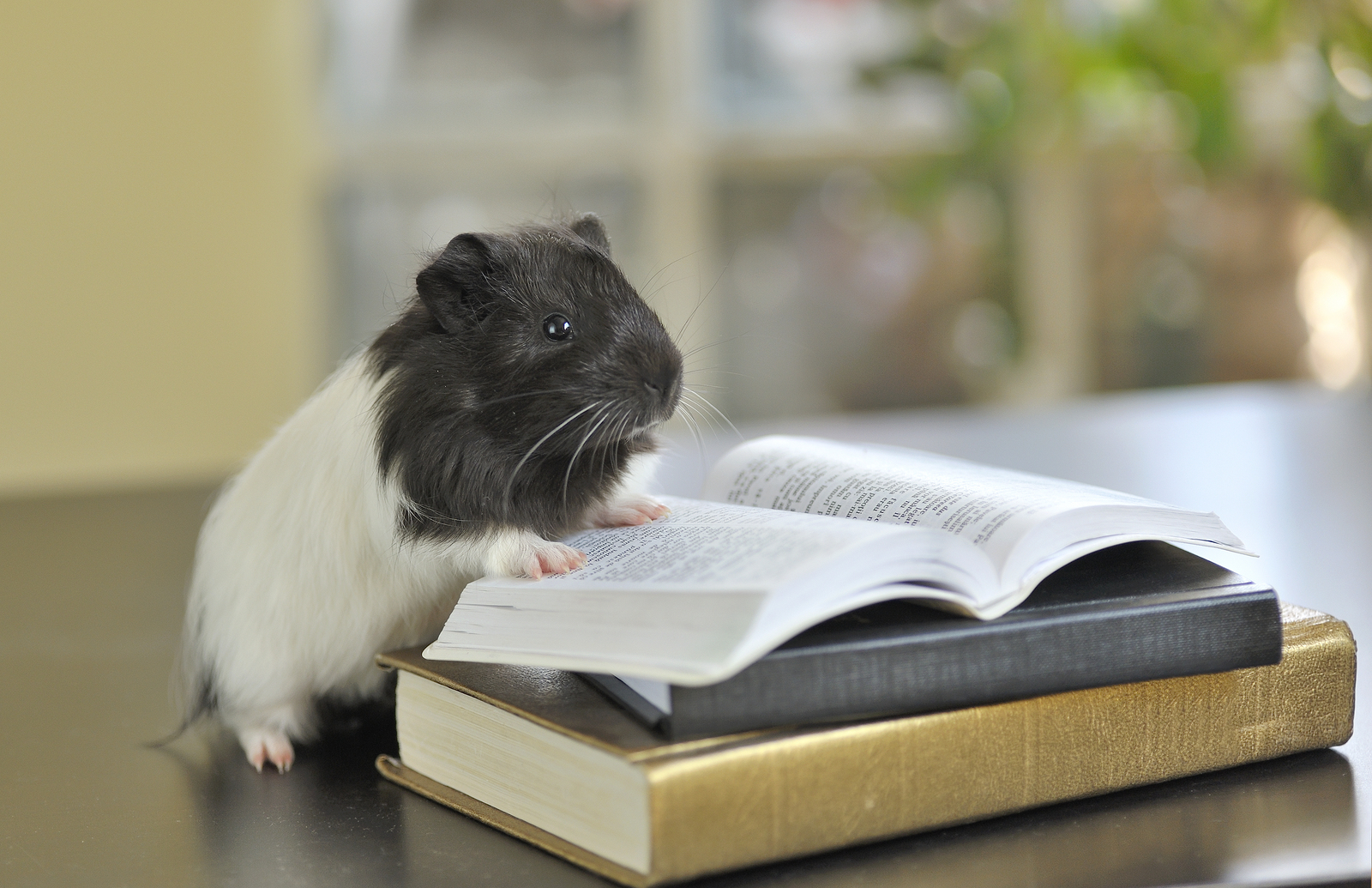 guinea pig reading a book