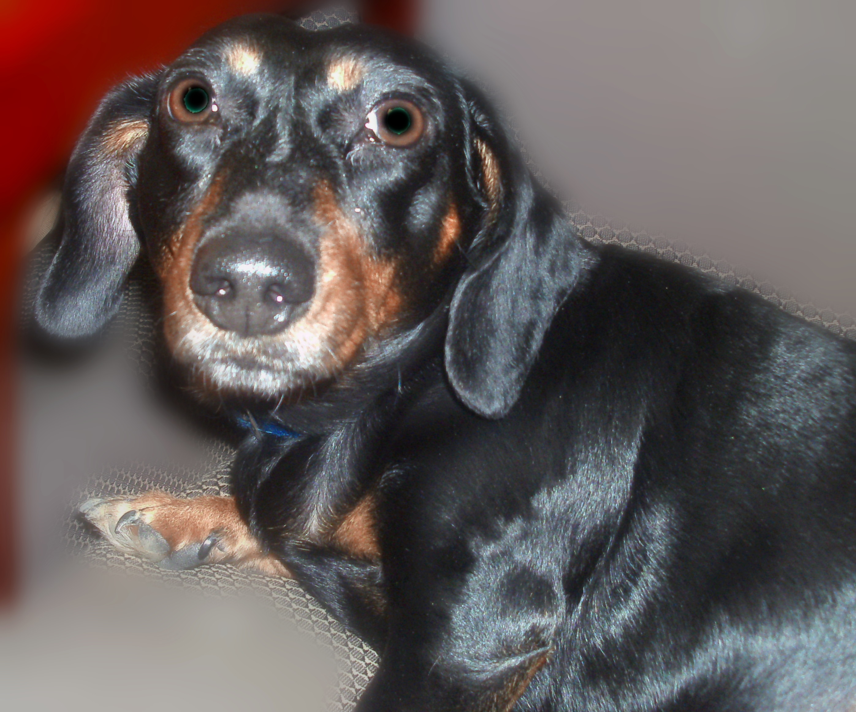 BUDDY_DACHSUND_ENHANCED.jpg