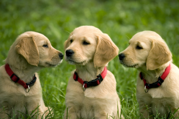 bigstock_three_dog_puppies_of_golden_re_16373183_1.jpg