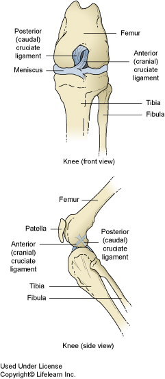 cruciate_ligament_rupture_-_2_2009