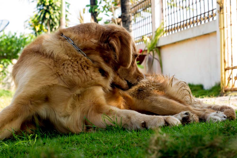 Dog scratching while laying in the grass