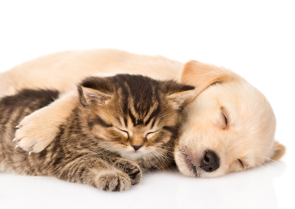kitten and puppy taking naps together