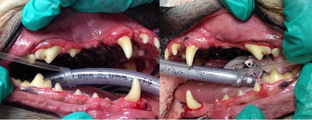 photo of dog's teeth after a quality veterinary dental cleaning