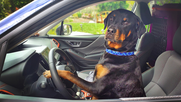 Image of dog driving care: Advanced Veterinary Care Curbside Service